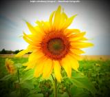 0040-Sonnenblume